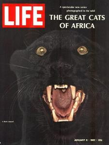 The Great Cats of Africa, Black Leopard, January 6, 1967 by John Dominis