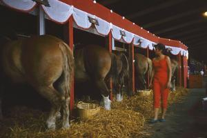 Woman Dressed in Red Walking Past Stalls of Clydesdale Horses at the Iowa State Fair, 1955 by John Dominis