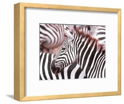 Zebra, Tanzania (Ngorongaro)