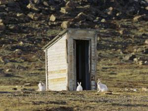 Arctic Hares in Front of Old Outhouse by John Dunn/Arctic Light