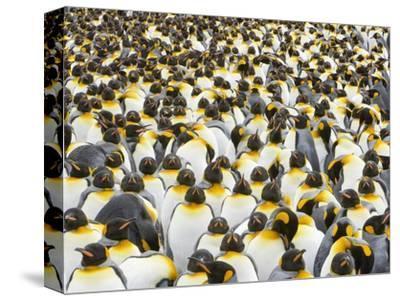 Adult King Penguins on South Georgia Island