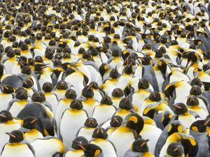 Adult King Penguins on South Georgia Island by John Eastcott & Yva Momatiuk