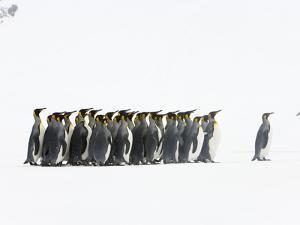 Adult King Penguins Standing in Spring Snow on South Georgia Island by John Eastcott & Yva Momatiuk
