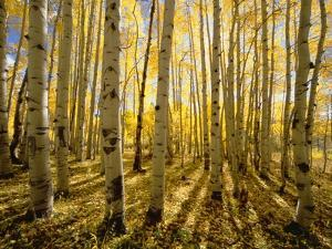 Aspen Trees in Autumn by John Eastcott & Yva Momatiuk