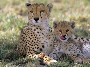 Cheetah Mother and Cub Resting in Shade Together by John Eastcott & Yva Momatiuk