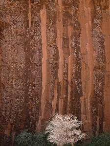 Chokecherry Tree Against Red Canyon Wall by John Eastcott & Yva Momatiuk