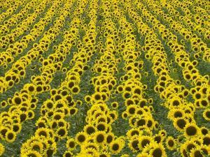 Field of Sunflowers by John Eastcott & Yva Momatiuk