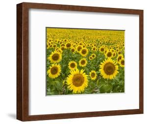 Field of Sunflowers by John Eastcott & Yva Momatiuk