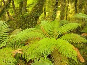 Forest on West Coast of New Zealand's South Island by John Eastcott & Yva Momatiuk