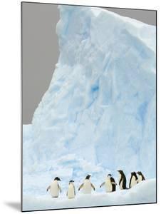 Gentoo and Chinstrap Penguins on Iceberg in Gerlache Strait by John Eastcott & Yva Momatiuk