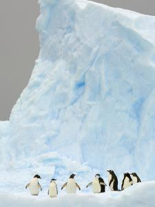 Gentoo and Chinstrap Penguins on Iceberg in Gerlache Strait by John Eastcott & Yva Momatiuk