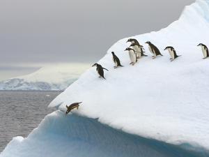 Gentoo Penguin Jumping Off Iceberg in Gerlache Strait by John Eastcott & Yva Momatiuk