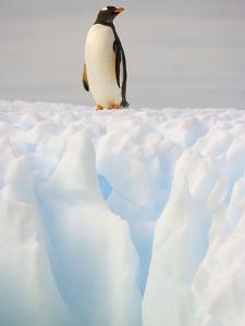 Gentoo Penguin on Ice Floe on the Antarctic Peninsula by John Eastcott & Yva Momatiuk