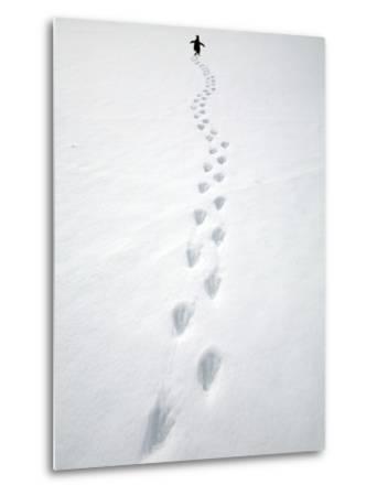 Gentoo Penguin Walking and Leaving Footprints in Snow
