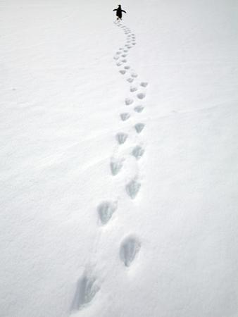 Gentoo Penguin Walking and Leaving Footprints in Snow by John Eastcott & Yva Momatiuk