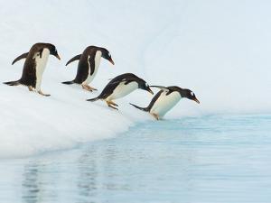 Gentoo Penguins Contemplating Jumping into Gerlache Strait by John Eastcott & Yva Momatiuk
