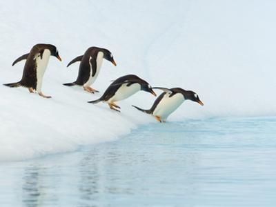 Gentoo Penguins Contemplating Jumping into Gerlache Strait by John Eastcott & Yva Momatiuk
