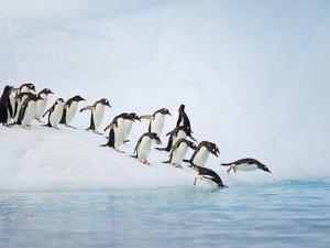Gentoo Penguins Jumping Off Iceberg into Gerlache Strait by John Eastcott & Yva Momatiuk