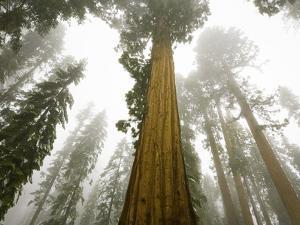 Giant Sequoia trees in snow and fog in Sequoia National Park by John Eastcott & Yva Momatiuk