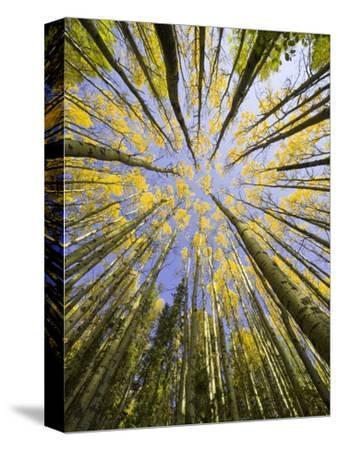 Golden Aspen Trees Seen From Below
