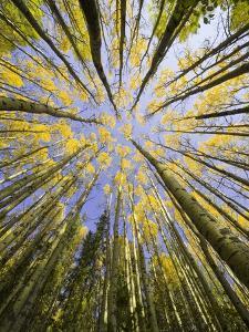 Golden Aspen Trees Seen From Below by John Eastcott & Yva Momatiuk