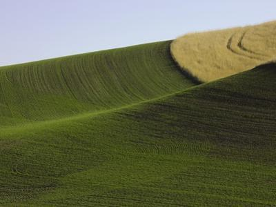Green and yellow wheat fields in the Palouse Hills of Washington