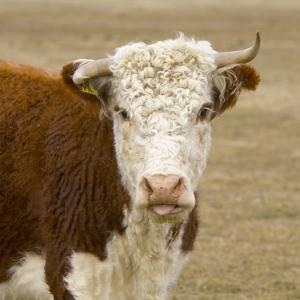 Hereford Cow on New Zealand's South Island by John Eastcott & Yva Momatiuk