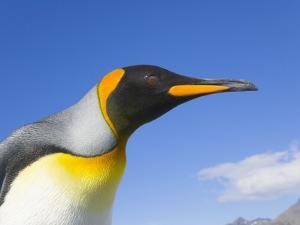 King Penguin by John Eastcott & Yva Momatiuk