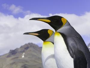 King Penguins by John Eastcott & Yva Momatiuk