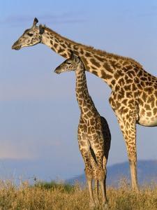 Masai Giraffes by John Eastcott & Yva Momatiuk