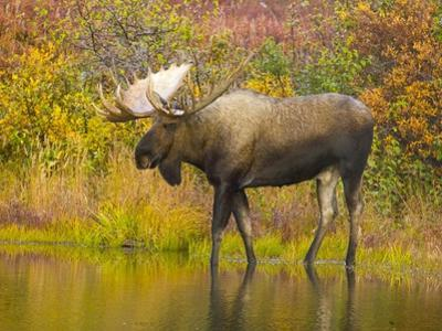 Moose Bull in Pond in Alaska by John Eastcott & Yva Momatiuk