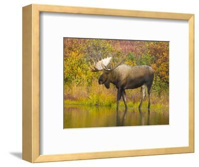 Moose Bull in Pond in Alaska