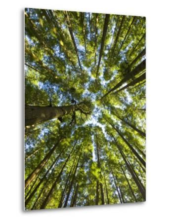 Old growth cedar, hemlock, fir and Sitka spruce forest in fall