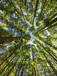 Old growth cedar, hemlock, fir and Sitka spruce forest in fall by John Eastcott & Yva Momatiuk