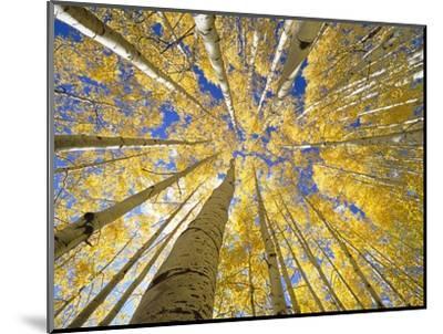 Quaking Aspen Grove in Fall, Colorado