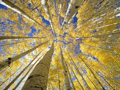 Quaking Aspen Grove in Fall, Colorado by John Eastcott & Yva Momatiuk