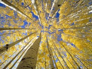 Quaking Aspen Grove in Fall, Colorado by John Eastcott & Yva Momatiuk