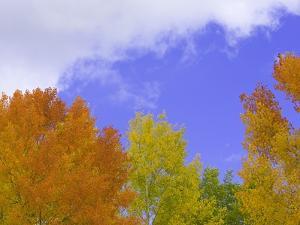Quaking aspens in fall colors in Grand Teton National Park by John Eastcott & Yva Momatiuk