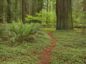 Trail among redwood trees in Jedediah Smith Redwoods State Park by John Eastcott & Yva Momatiuk