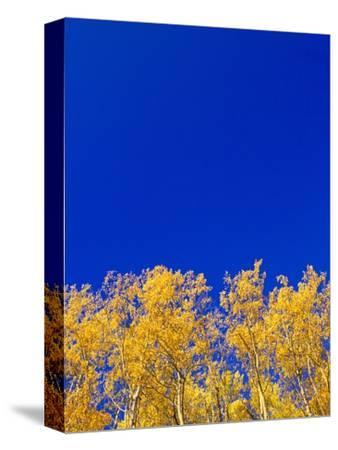Yellow Aspens and Blue Sky