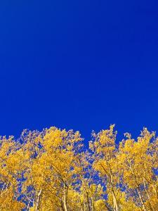 Yellow Aspens and Blue Sky by John Eastcott & Yva Momatiuk