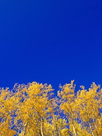 Yellow Aspens and Blue Sky by John Eastcott & Yva Momatiuk