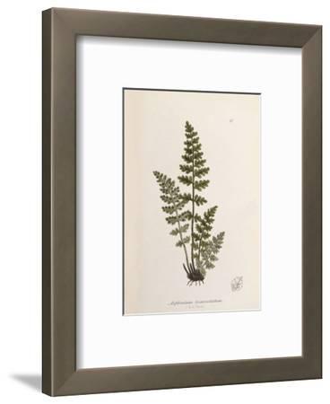 Asplenium obovatum subsp. lanceolatum