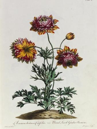Anemone Hortensis Catifolia, from 'The British Herbal'