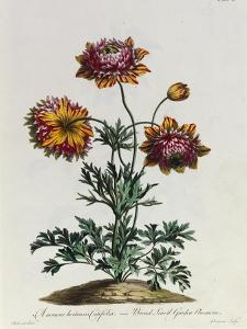 Anemone Hortensis Catifolia, from 'The British Herbal' by John Edwards
