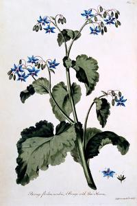 Borage with Blue Flowers, Illustration from 'The British Herbalist', March 1770 by John Edwards