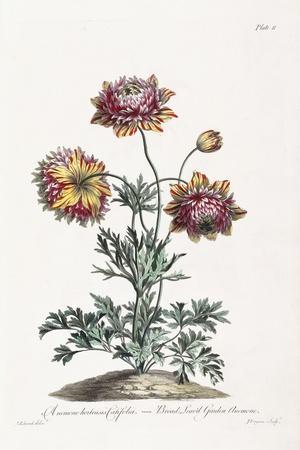 Broad Leav'D Garden Anemone