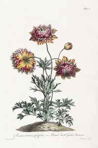 Broad Leav'D Garden Anemone by John Edwards