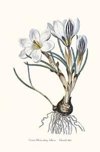 Crocus Biflorus by John Edwards