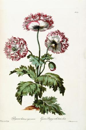 Garden Poppy with Black Seeds, 1769